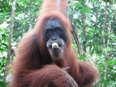 Orang Utang, Sumatra