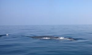 Blåhval ud for Sri Lanka